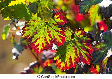 encendido, vino, hojas