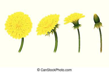 encerramento, fases, dandelion, flor, isolado