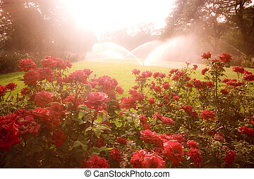Dreamy morning park scene with roses and sprinklers