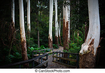 Enchanting pathway and boardwalk through ghostly white eucalyptus tree trunks in a dark forest