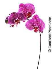 encima, blanco, orquídea