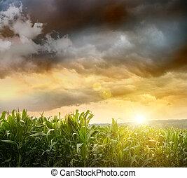 encima, maíz, campos, cielos oscuros, el asomar