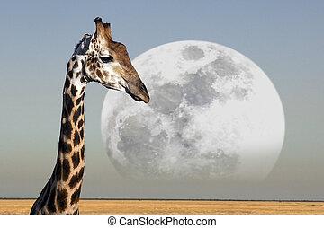 encima, parque, luna, jirafa, namibia, levantamiento, ...