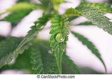 encima, planta, gotas, hojas, -, aislado, marijuana, agua, ...