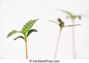 encima, unido, cannabis, aislado, brotes, blanco, semilla, cáscara, hoja