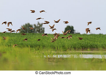 encima, vuelo, lago, starlings, multitud