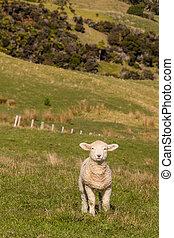 enclos, curieux, debout, agneau