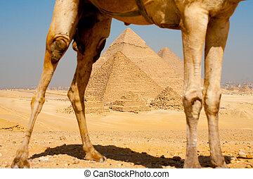 encuadrado, pirámides, piernas, por, camello