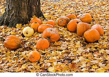 End Of Season - Rotting pumpkins under a maple tree.