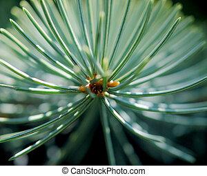 Colorado blue spruce twig