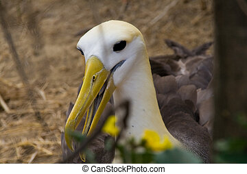 the endangered galapagos albatross looking at the camera