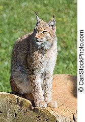 iberian lynx - endangered beautiful lynx pardinus or lynx...