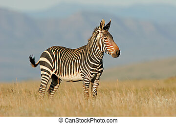 Cape Mountain Zebra - Endangered Cape Mountain Zebra (Equus...