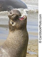 Endangered Elephant Seal portrait bellowing
