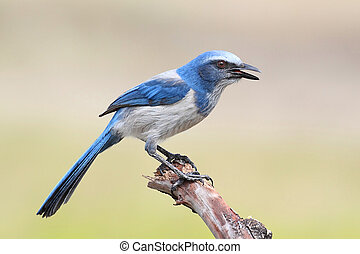 Endangered Florida Scrub-Jay (Aphelocoma coerulescens) perched on a branch