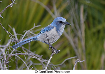 Endangered Florida Scrub-Jay (Aphelocoma coerulescens) perched on in a tree