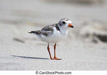 Endangered Piping Plover (Charadrius melodus) on a beach