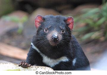 Tasmanian devil - Endangered Tasmanian devil