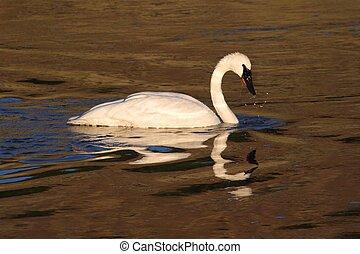 Endangered Trumpeter Swan (Cygnus buccinator) swimming in Yellowstone National Park