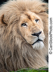 Endangered white male barbary lion closeup portrait