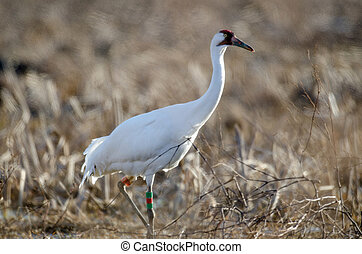 An endangered whooping crane foraging for food in a field at Goose Pond Fish and Wildlife Area near Linton, Indiana