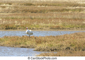 Endangered Whooping Crane in Aransas National Wildlife Refuge, winter home to the only migrating flock left in the wild