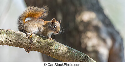 Endearing Red squirrel, close up and looking at camera from a branch.