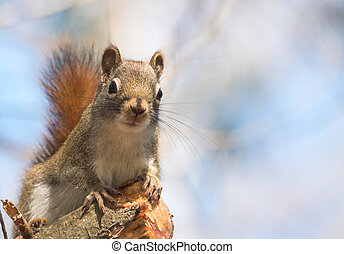 Endearing Red squirrel, close up and looking at camera from a broken branch stump.