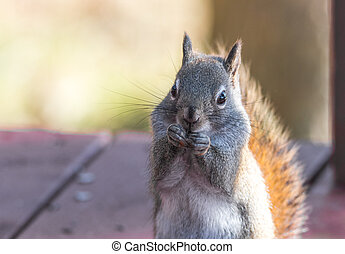 Endearing red squirrel, close up, sitting up on a deck.