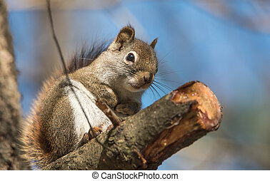 Endearing springtime Red squirrel, close up.