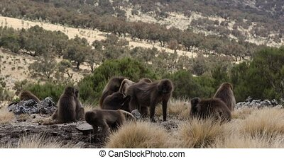endemic Gelada baboon in Simien mountain, Ethiopia wildlife...