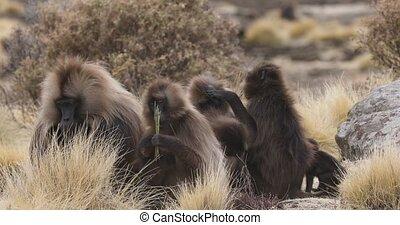 group of endemic animal Gelada monkey in social grooming time. Theropithecus gelada, in Ethiopian natural habitat Simien Mountains, Africa Ethiopia wildlife