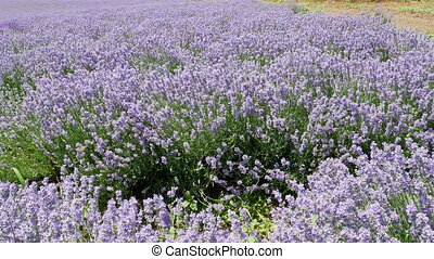 Endless Blooming Lavender Flowers