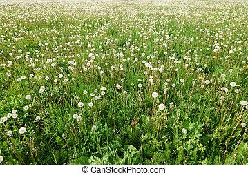 endless dandelion field in sun light