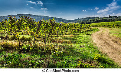 Endless fields of vines in Tuscany, Italy