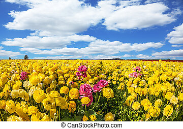 Endless kibbutz fields - Spring flowering. Kibbutz fields of...
