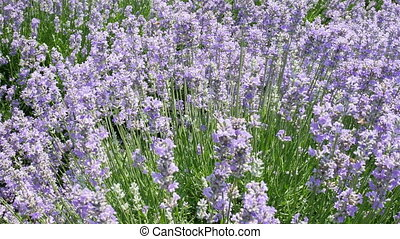 Endless lines of blooming lavender - Bushes of flowering...