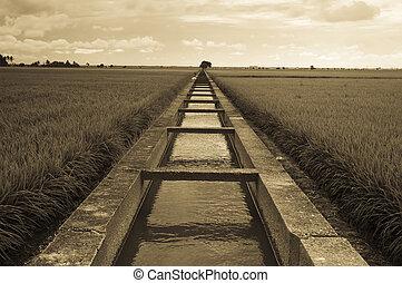 endless paddy field