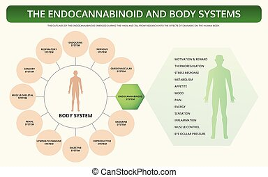 Endocannabinoid and Body Systems horizontal textbook infographic