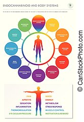 Endocannabinoid and Body Systems vertical business infographic