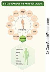 endocannabinoid, infographic, システム, 体, 縦, 教科書