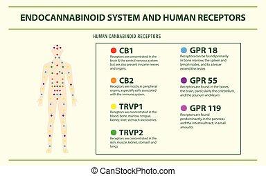Endocannabinoid System and Human Receptors horizontal infographic