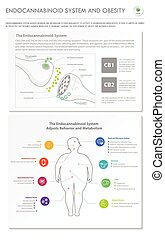Endocannabinoid System and Obesity vertical business infographic
