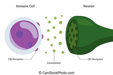 Endocannabinoid System between Immune Cell and Neuron ...
