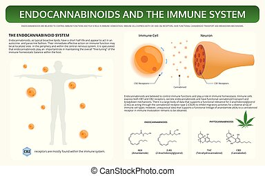 Endocannabinoids and the Immune System horizontal textbook infographic