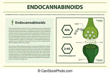 Endocannabinoids horizontal infographic