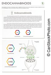 Endocannabinoids vertical business infographic