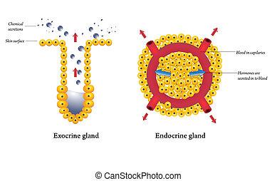 endocrine, glândulas, exocrine