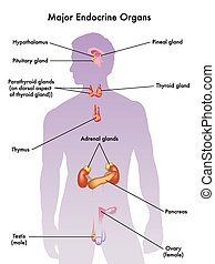 endocrine system - medical illustration of the major ...