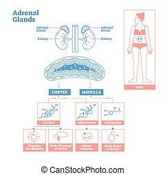 endocrino, médico, system., vector, diagram., glándulas, ciencia, ilustración, suprarrenal